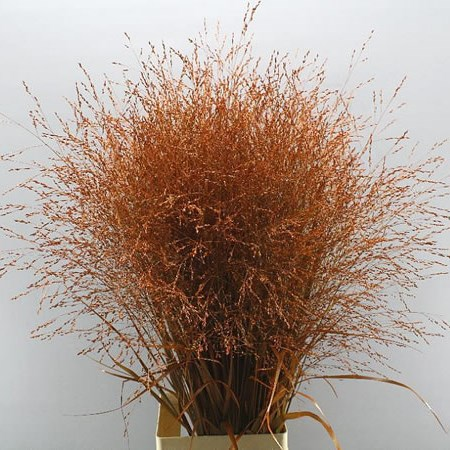 PANICUM WARRIOR GRASS DYED ORANGE