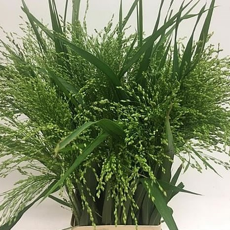 PANICUM WATERFALL GRASS