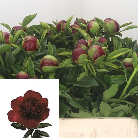 PEONY RED CHARM (CHILE)