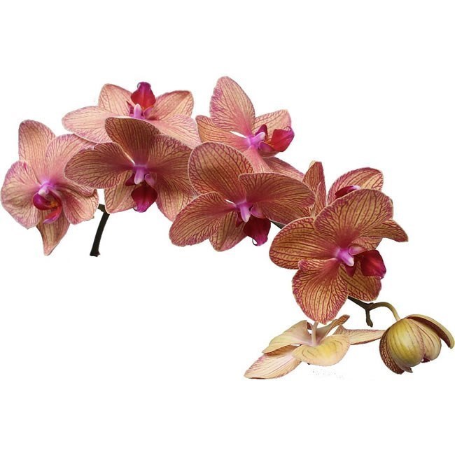 PHALAENOPSIS ORCHID - GOLDEN TREASURE