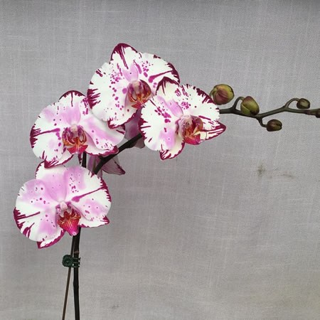 PHALAENOPSIS ORCHID - MAGIC ART