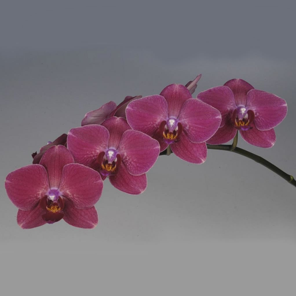 PHALAENOPSIS ORCHID - MONTREUX (MASTERPACK)