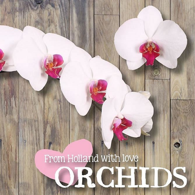 PHALAENOPSIS ORCHID - RED LIPS