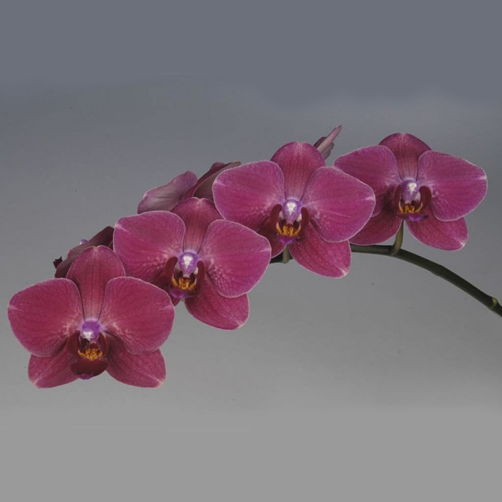PHALAEONOPSIS ORCHID - MONTREUX (MASTERPACK)