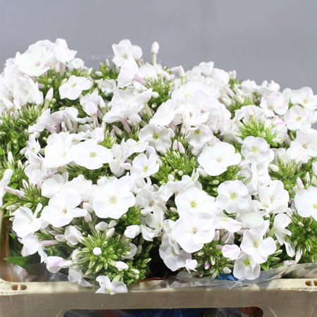 PHLOX EVEREST
