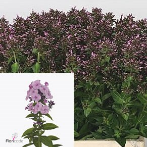 PHLOX SWEET DANCE