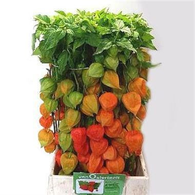 PHYSALIS CHINESE LANTERN STEMS