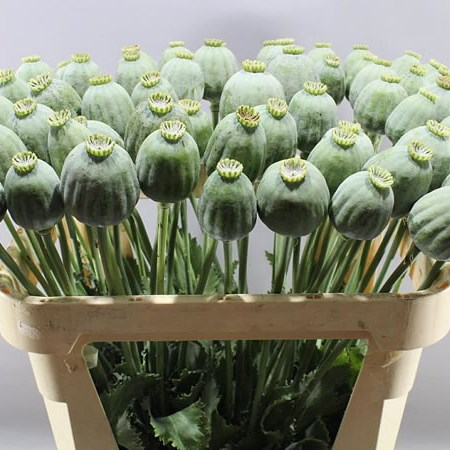 POPPY HEADS NATURAL (PAPAVER)