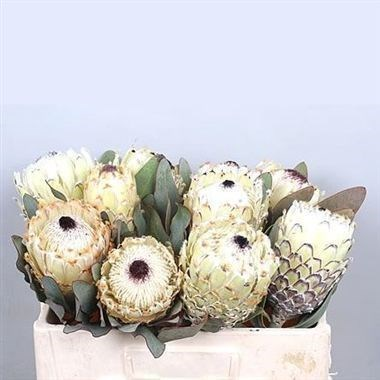 PROTEA BARBIGERA ICE QUEEN