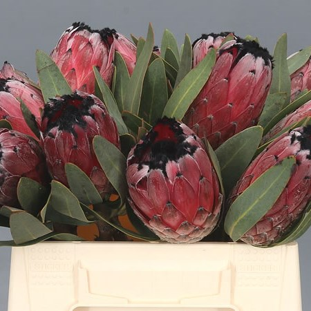PROTEA BLACK BEAUTY