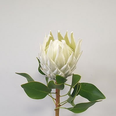 PROTEA FULL MOON