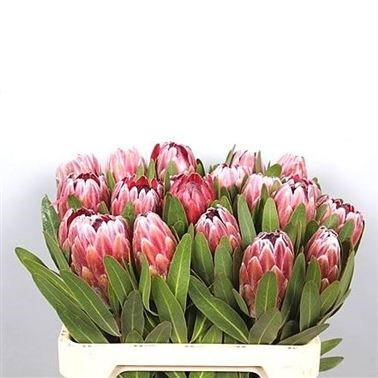 PROTEA PINK ICE