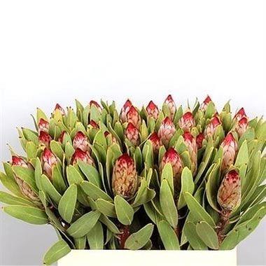 Protea Carnival 50cm Wholesale Dutch Flowers Amp Florist