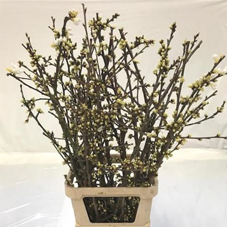 PRUNUS CHERRY BLOSSOM (WHITE)