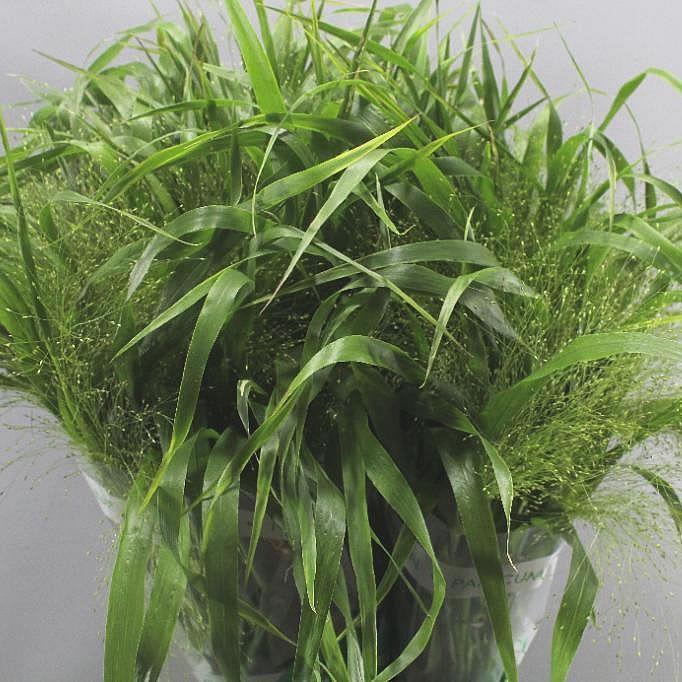 Panicum fountain Grass
