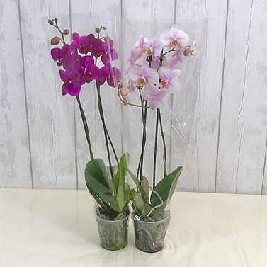 Phalaenopsis 2 Stem Mix