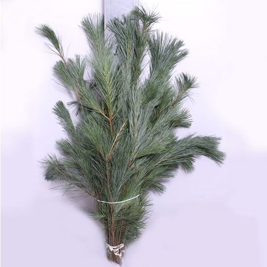 Weekly Special - Pinus Strobus (Bunches)