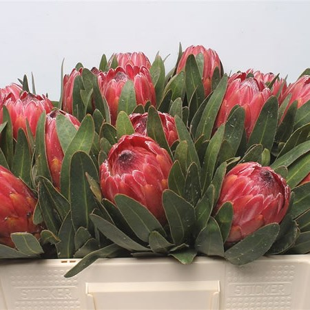 Protea Red Ice