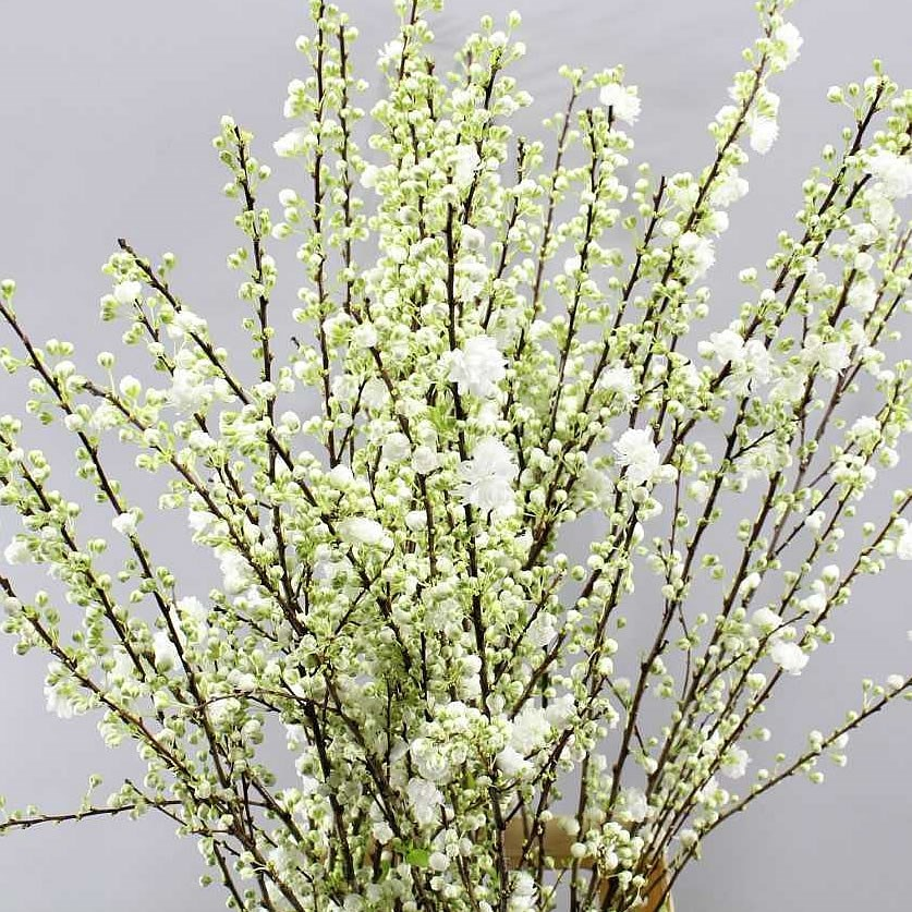 Prunus Gland White