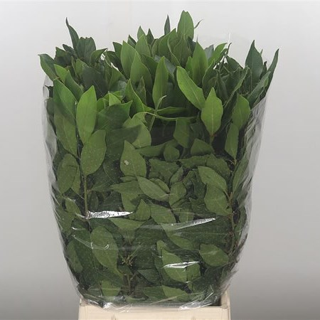 Prunus Green Leaf (Laurel)