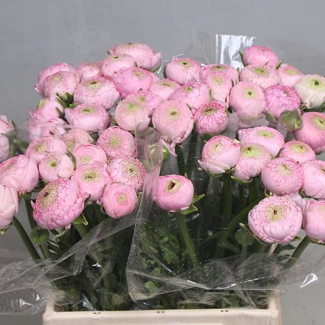 RANUNCULUS AAZUR LIGHT PINK
