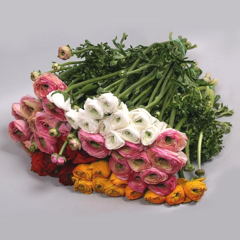 RANUNCULUS CLOONY MIX (COLS MAY VARY)