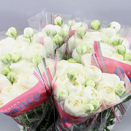 RANUNCULUS ROMANCE COURCHEVEL EX