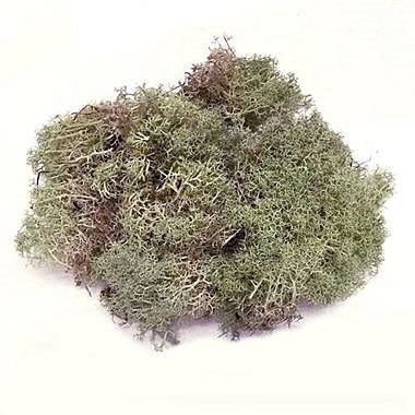 Reindeer Moss - Natural (English)