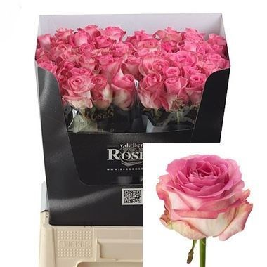 ROSE AVALANCHE CANDY 40cm (Small Headed)