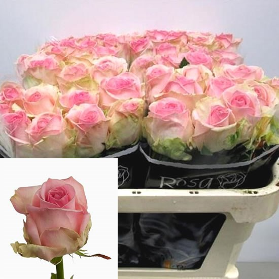 ROSE AVALANCHE SORBET 40cm (Small Headed)