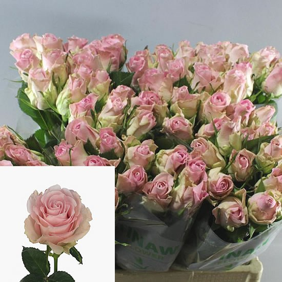 ROSE BISOU 50cm (Small Headed)