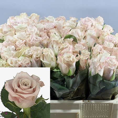 ROSE MENTA 40cm (Small Heads)