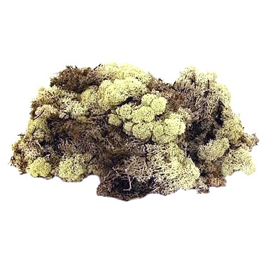 Reindeer Moss - Natural (Preserved)