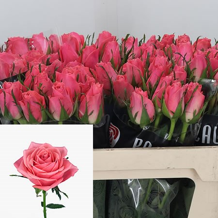 Rose Ace Pink