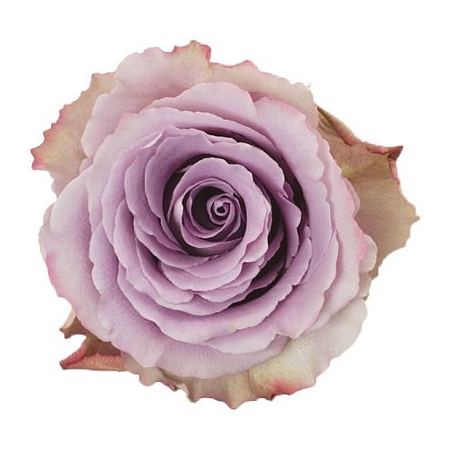 Colombian Rose Lilac (our choice)