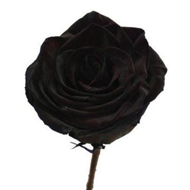 ROSE DYED BLACK