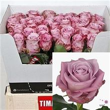 Rose Maritim 40cm (small headed)