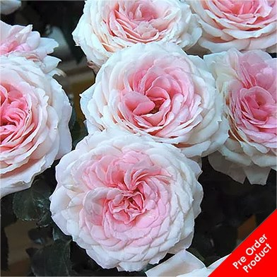 Rose Myra's Bridal Pink