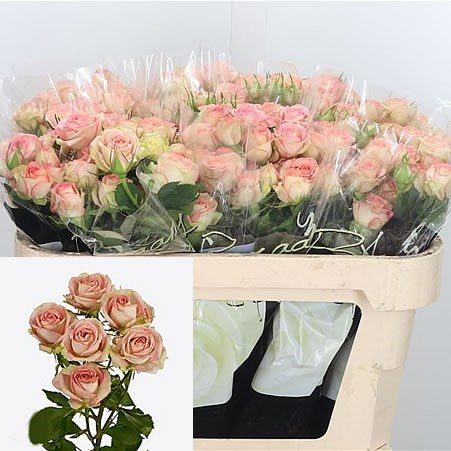 Rose Spray Azore