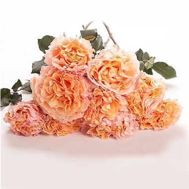 from rijnsburg auction rose campenella peach