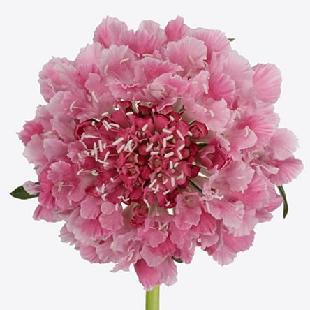 SCABIOUS COTTON CANDY SCOOP