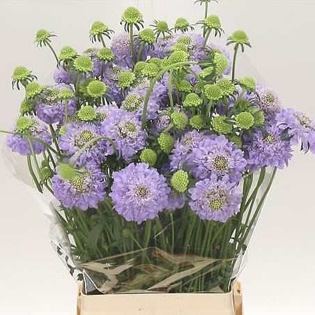 SCABIOUS LAVENDER SCOOP