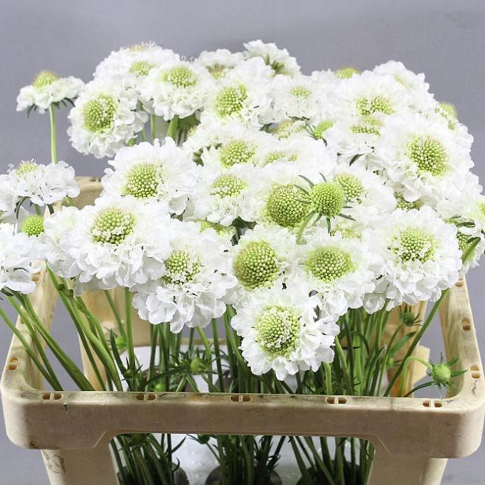 SCABIOUS MILKY SCOOP