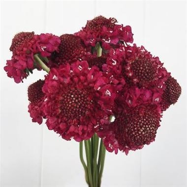 SCABIOUS RASPBERRY SCOOP