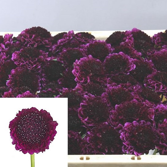 SCABIOUS RED VELVET