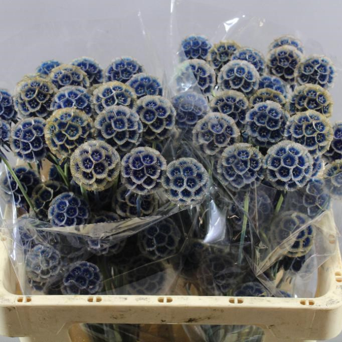 SCABIOUS SEED DYED BLUE
