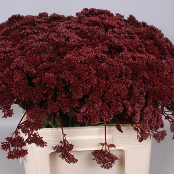 SEDUM DYED BURGUNDY