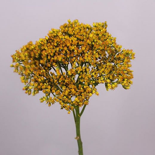 SEDUM DYED YELLOW