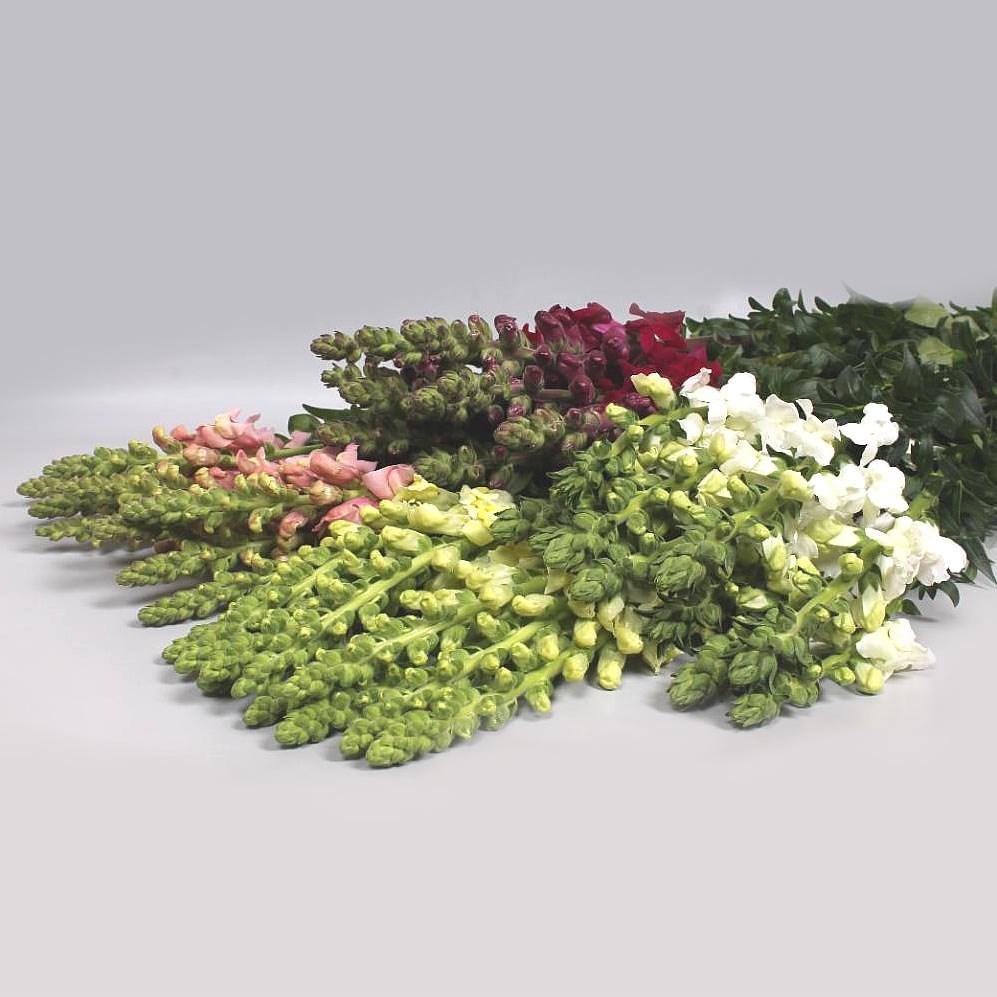 Buy Antirrhinums Snapdragons Wholesale Flowers Online Wedding