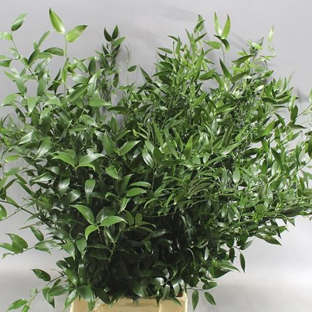 SOFT RUSCUS 65CM (SMALL LEAF)